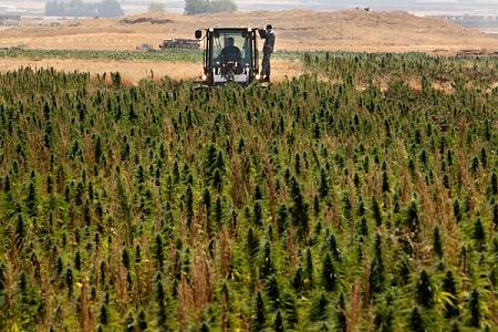 Новость о плантации конопли питер гриффин за марихуану
